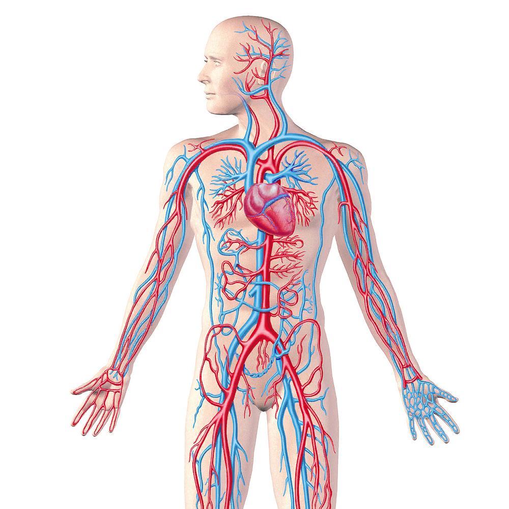 Строение кровеносной системы фото